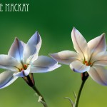 two_flower_1
